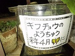 ギフチョウ幼虫.jpg